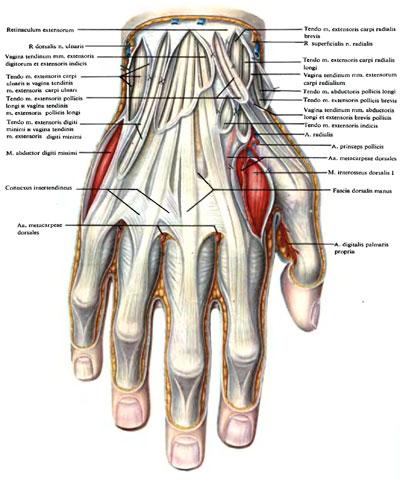 Строение левой кисти руки человека. Тыл кисти
